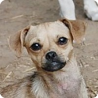 Adopt A Pet :: Ellana B Lap baby - Locust Fork, AL