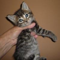 Adopt A Pet :: PJ - Dallas, TX