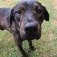 Adopt A Pet :: 36341868 - Anderson, SC