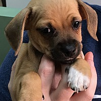 Adopt A Pet :: Diddley - Thousand Oaks, CA
