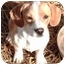 Photo 3 - Beagle Mix Puppy for adoption in Osseo, Minnesota - Barney