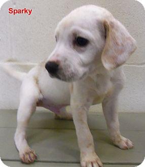 Dalmatian/Labrador Retriever Mix Puppy for adoption in Slidell, Louisiana - Sparky