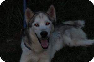 Husky Mix Dog for adoption in Staunton, Virginia - Kane
