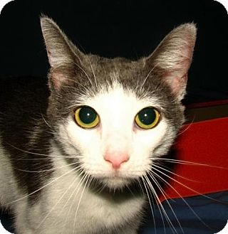 Domestic Shorthair Cat for adoption in Norwich, New York - Avery