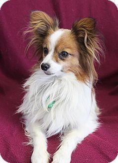 Papillon Dog for adoption in Wichita, Kansas - Gizmo