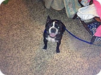 Boston Terrier Dog for adoption in Ogden, Utah - Tank