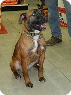 Belgian Malinois Mix Dog for adoption in Clinton, Maine - Dovena