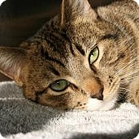Adopt A Pet :: Stripes - Canoga Park, CA