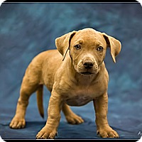 Adopt A Pet :: Aadi - Wickenburg, AZ