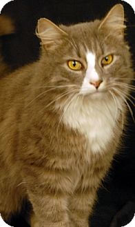 Domestic Mediumhair Cat for adoption in Newland, North Carolina - Baby