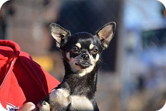 Chihuahua Mix Dog for adoption in Meridian, Idaho - Becka
