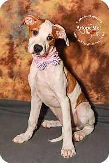Boxer Mix Puppy for adoption in Cincinnati, Ohio - Dolce
