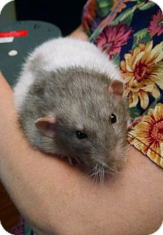 Rat for adoption in Austin, Texas - Hanno