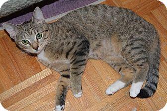 Domestic Shorthair Kitten for adoption in Gilbert, Arizona - Sheba
