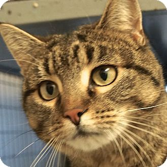 Domestic Shorthair Cat for adoption in Sprakers, New York - Laurie