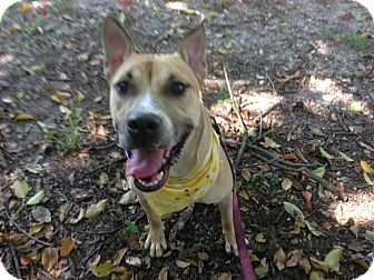 American Pit Bull Terrier/Shepherd (Unknown Type) Mix Dog for adoption in Coral Springs, Florida - Maxwell
