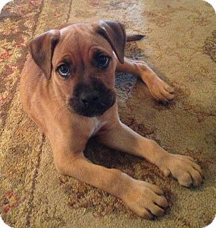Boxer Mix Puppy for adoption in East Windsor, Connecticut - Charlie