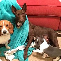 Adopt A Pet :: Emmi - Bedminster, NJ