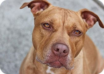 American Pit Bull Terrier/American Staffordshire Terrier Mix Dog for adoption in Eastpointe, Michigan - Honey