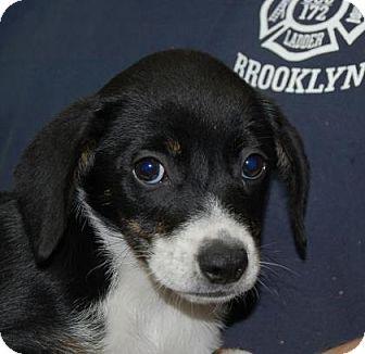 Labrador Retriever/Retriever (Unknown Type) Mix Puppy for adoption in Brooklyn, New York - Florida