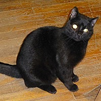 Domestic Shorthair Cat for adoption in Asheville, North Carolina - Thunder