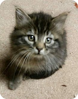 Domestic Longhair Kitten for adoption in Irwin, Pennsylvania - Jill