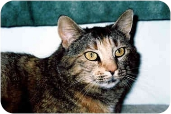 Domestic Shorthair Cat for adoption in Medway, Massachusetts - Megs