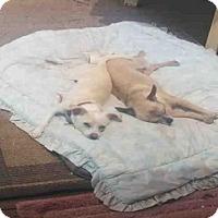 Chihuahua Dog for adoption in Sacramento, California - *HONEY