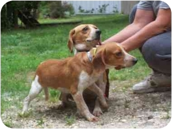 Beagle Dog for adoption in Ventnor City, New Jersey - SUGAR and SPICE