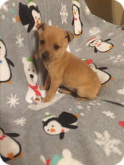 Miniature Pinscher/Chihuahua Mix Puppy for adoption in Hazard, Kentucky - Mac