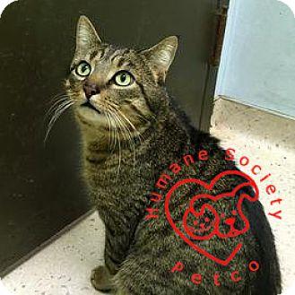 Domestic Shorthair Cat for adoption in Janesville, Wisconsin - Dio Brando