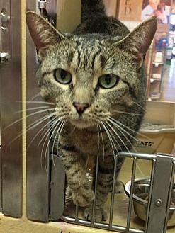 Domestic Shorthair Cat for adoption in New Bern, North Carolina - Arizona