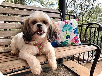 Shih Tzu Dog for adoption in Washington, D.C. - Emma Grace (RBF)