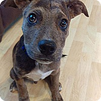 Catahoula Leopard Dog/Labrador Retriever Mix Puppy for adoption in Patterson, New York - Toby