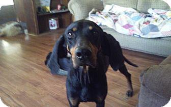 Black and Tan Coonhound Mix Dog for adoption in Sedalia, Missouri - REBA