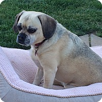 Pug/Beagle Mix Dog for adoption in Bay Point, California - Lola