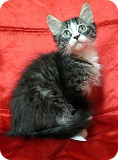Domestic Shorthair Kitten for adoption in St. Louis, Missouri - Audrey