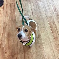 Adopt A Pet :: Luna Simone - Jersey City, NJ