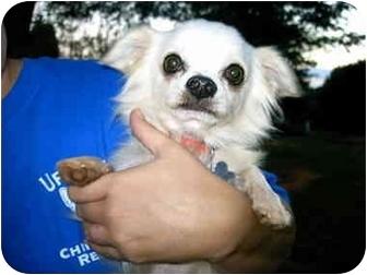 Chihuahua Dog for adoption in Charleston, South Carolina - Jack