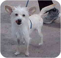Terrier (Unknown Type, Small) Mix Dog for adoption in Spring Valley, California - Radar