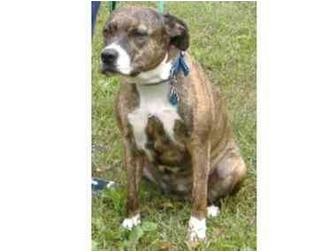 Pit Bull Terrier/Pit Bull Terrier Mix Dog for adoption in Huntingdon, Pennsylvania - Jade
