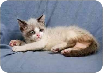 Ragdoll Kitten for adoption in Anna, Illinois - MADELANDIS