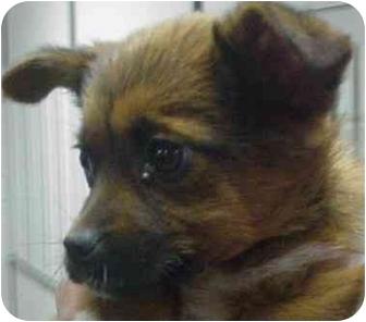 Pembroke Welsh Corgi/Border Collie Mix Puppy for adoption in Manassas, Virginia - Piney