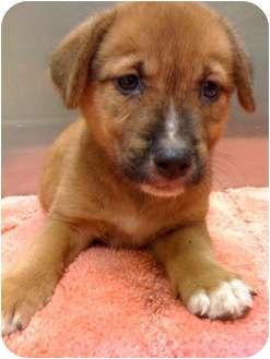 Shepherd (Unknown Type) Mix Puppy for adoption in Houston, Texas - Raphael
