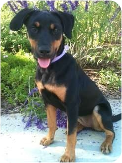 Rottweiler Mix Puppy for adoption in El Cajon, California - BECKY