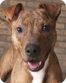 Terrier (Unknown Type, Medium)/American Staffordshire Terrier Mix Dog for adoption in Chicago, Illinois - Woody