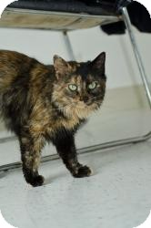 Domestic Mediumhair Cat for adoption in Chambersburg, Pennsylvania - Tootie