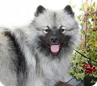 Keeshond Dog for adoption in Los Altos, California - Mason