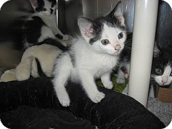 Domestic Shorthair Kitten for adoption in Ridgway, Colorado - Chandler