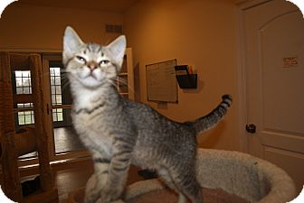 Domestic Shorthair Kitten for adoption in Trevose, Pennsylvania - Sabu